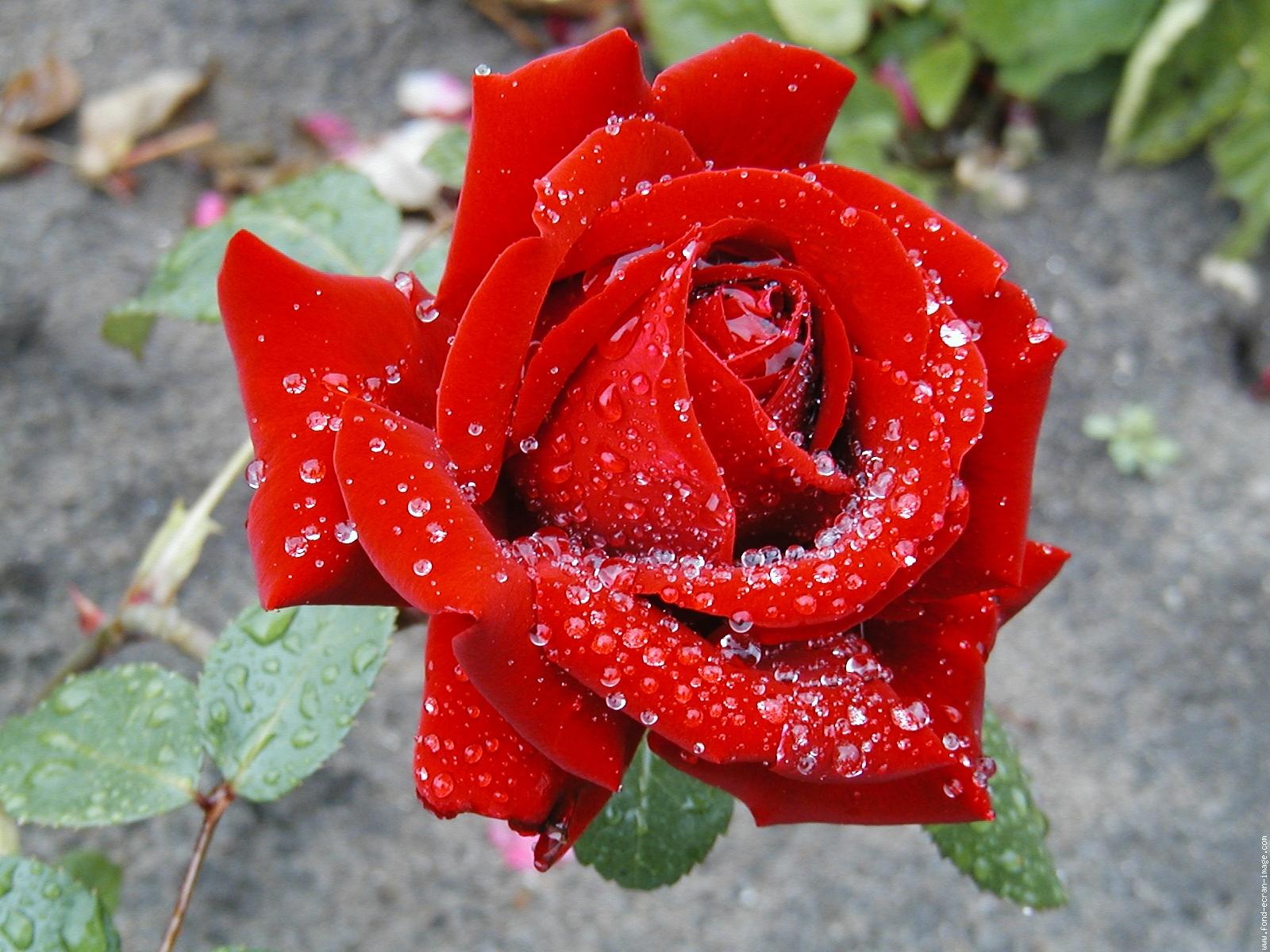 rose-ingrid-bergman-apres-la-pluie49