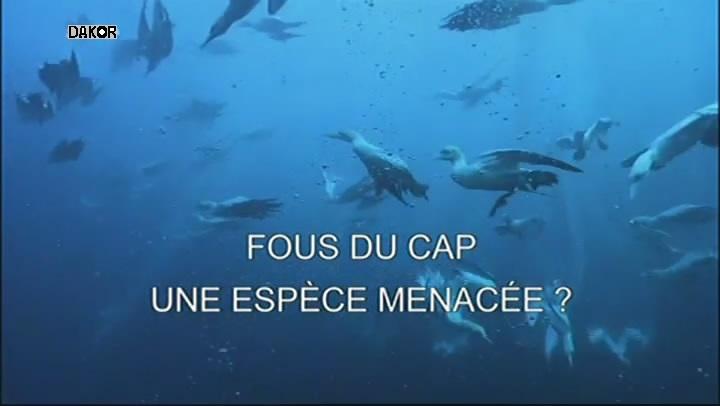 Fous du Cap - Une espèce menacée ? [TVRIP]