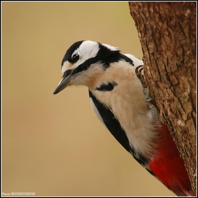 Pic épeiche (Dendrocopos major) par Pierre BOURGUIGNON, photographe animalier
