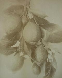 Citrus - Albumen bontanical citrus (0)