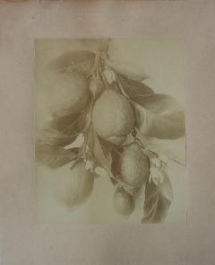 Albumen bontanical citrus<br /> (1).JPG