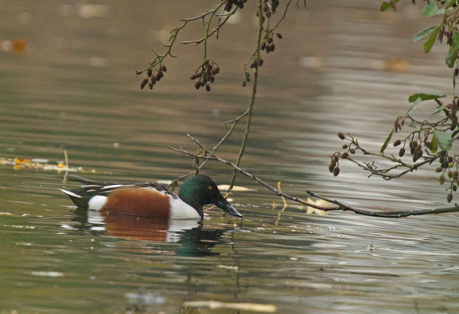 Parc de la Woluwe (souchet- goéland ....) (photos) 1211170531495685110562574