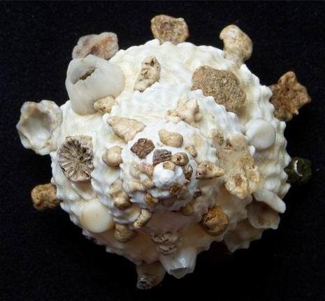 Xenophora granulosa - Ponder, 1983  12112504115514587710592618