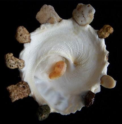 Xenophora granulosa - Ponder, 1983  12112504115614587710592619