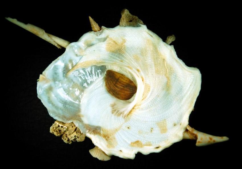 Xenophora crispa - (König, 1825)  12121410433014587710666012