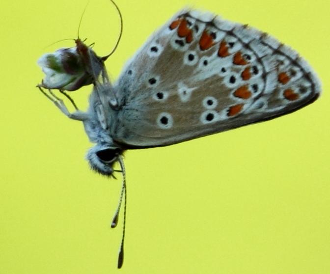 Identification de trois papillons 1212200534417808310683366