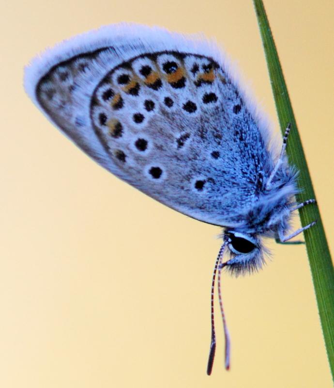 Identification de trois papillons 1212200534417808310683368