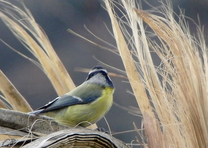 Parus caeruleus mesange bleue blue tit 27 12 2012 3