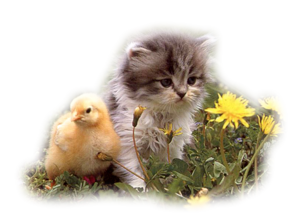 animaux  chat poussin reine