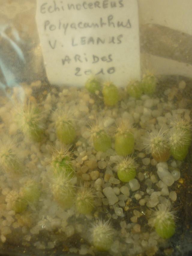 SEMIS DE CACTUS façon cactus24 1301160658349100210767232
