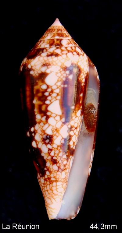 Conus (Cylinder) legatus   Lamarck, 1810 13012902332814587710811485