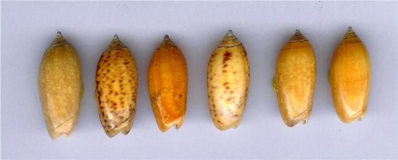 Oliva oliva (Linnaeus, 1758) 13020511310214587710834687
