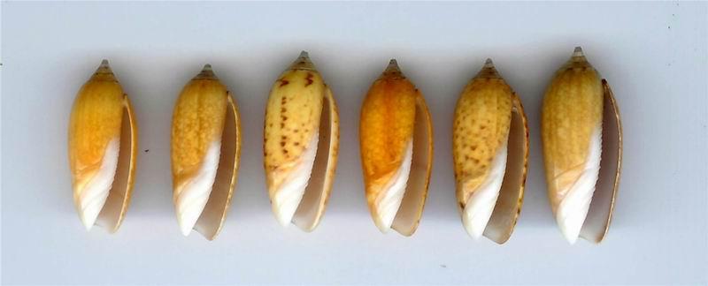 Oliva oliva (Linnaeus, 1758) 13020511310314587710834688