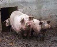 Copie (5) de wwretaillé cochons