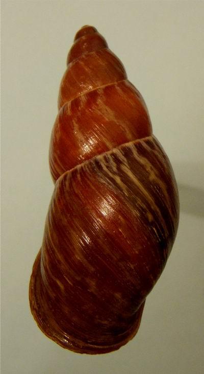 Chrysallis nigriceps (Bartsch, 1932) 13030310013014587710926682