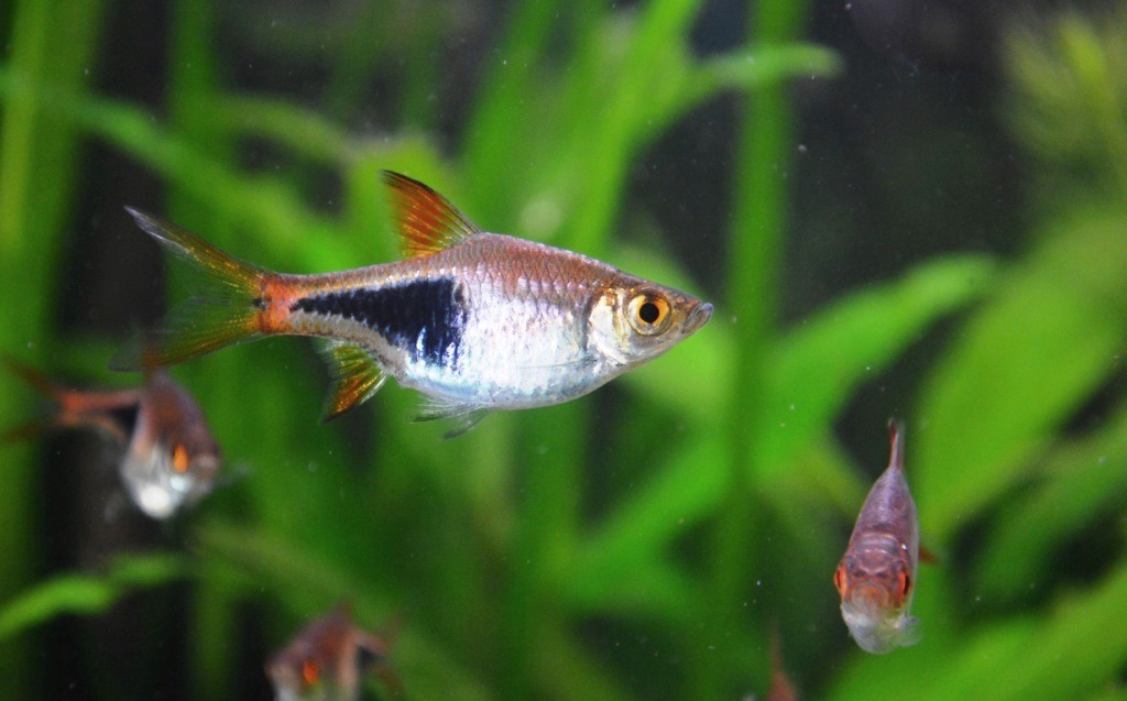 Début de reproduction Rasbora arlequin 13030708460612740910942768