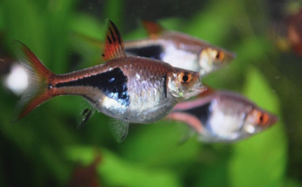 Début de reproduction Rasbora arlequin 13030708495412740910942778