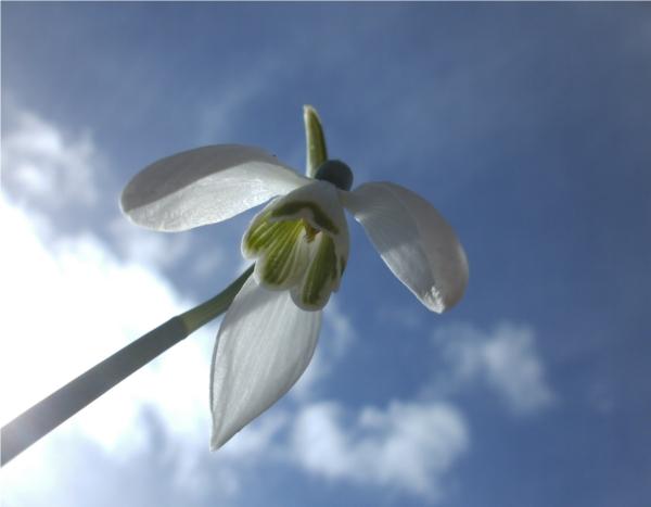 Perce - neige : ciel de printemps