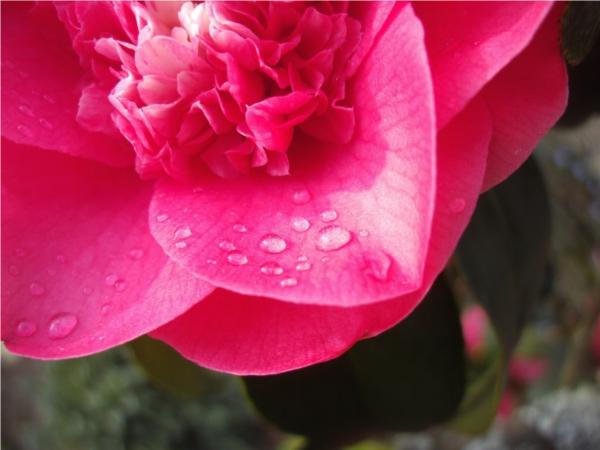 Camélia : jour de pluie