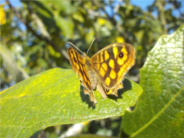 Papillon sur figuier