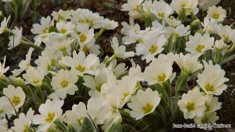 fleur primevere photo,