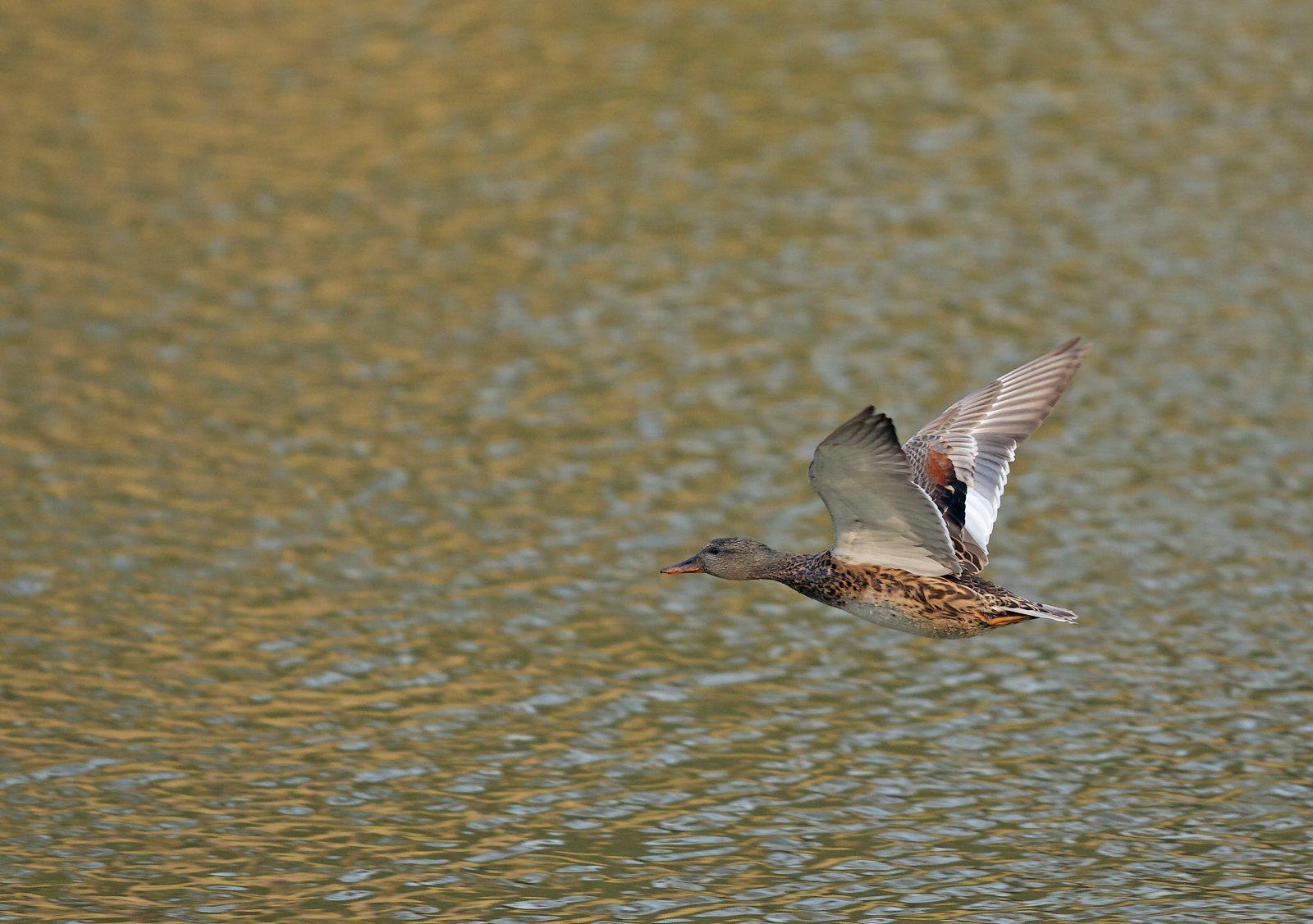 Etangs de Tervuren (oiseaux en vol) 1304010324245685111036332