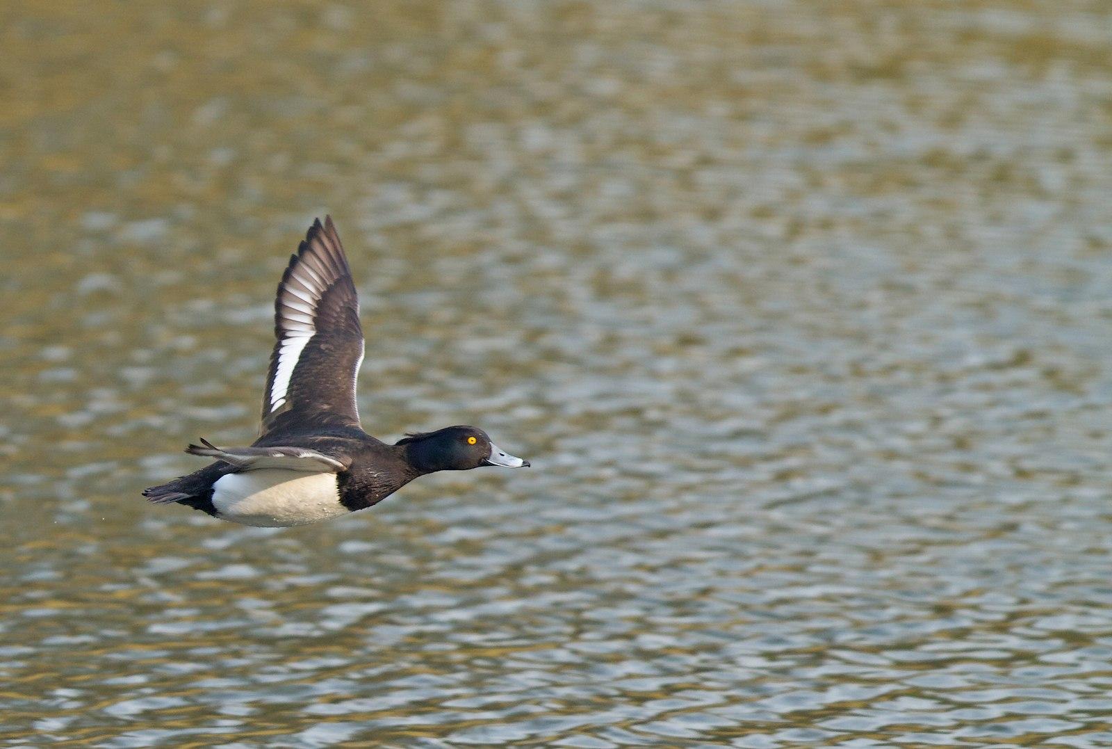 Etangs de Tervuren (oiseaux en vol) 1304010324245685111036333
