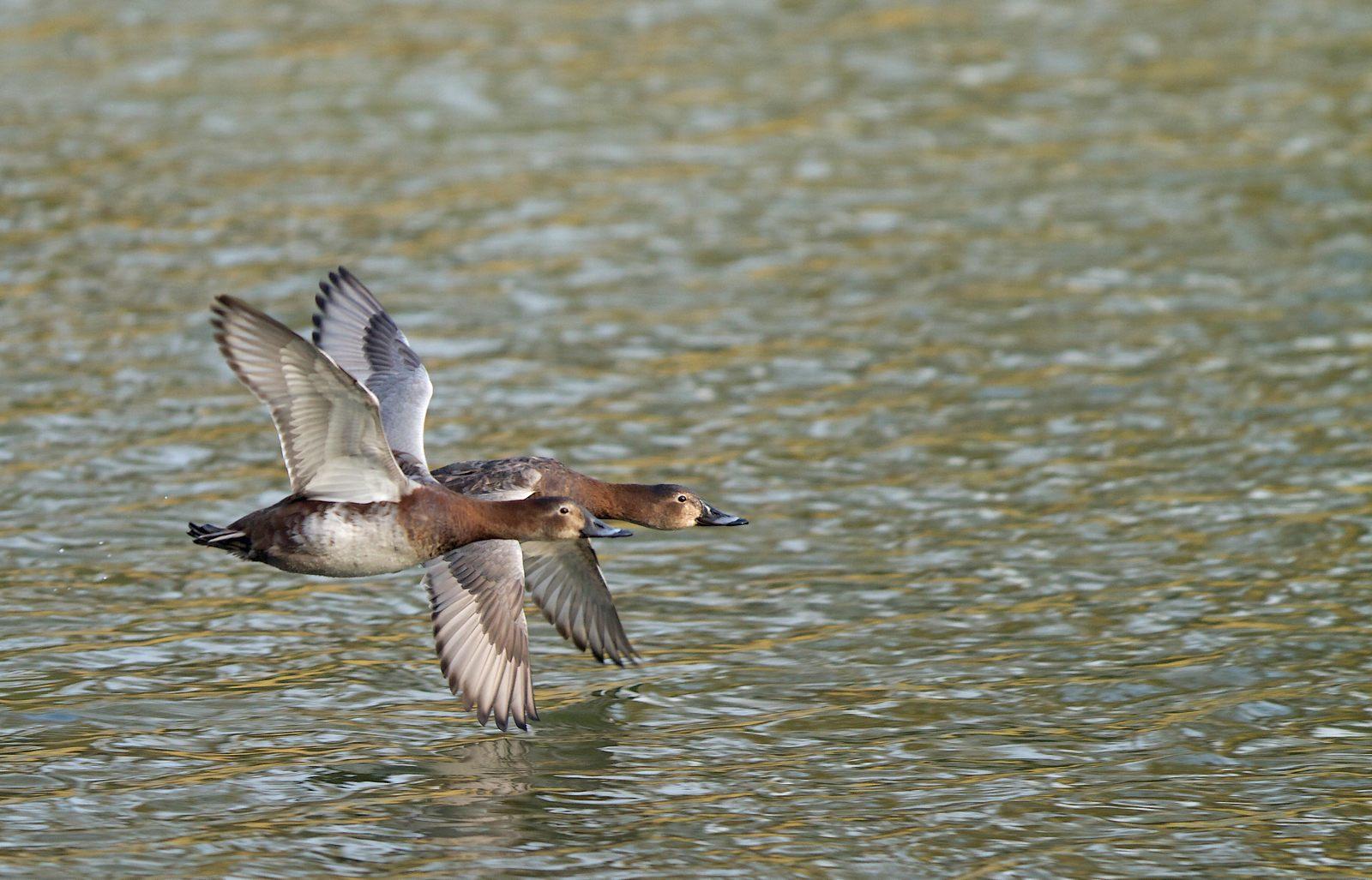 Etangs de Tervuren (oiseaux en vol) 1304010324255685111036336