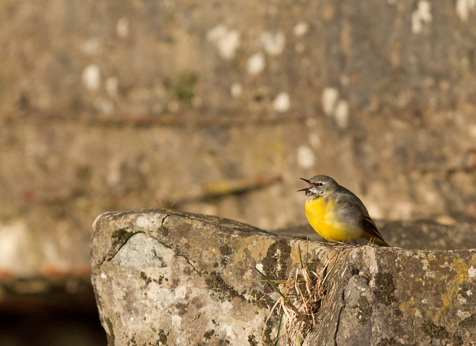 Parc de la Woluwe (Bruant des roseaux, bergeronnette des ruisseaux,...) + 3 nouvelles photos du bruant 1304020209375685111039918