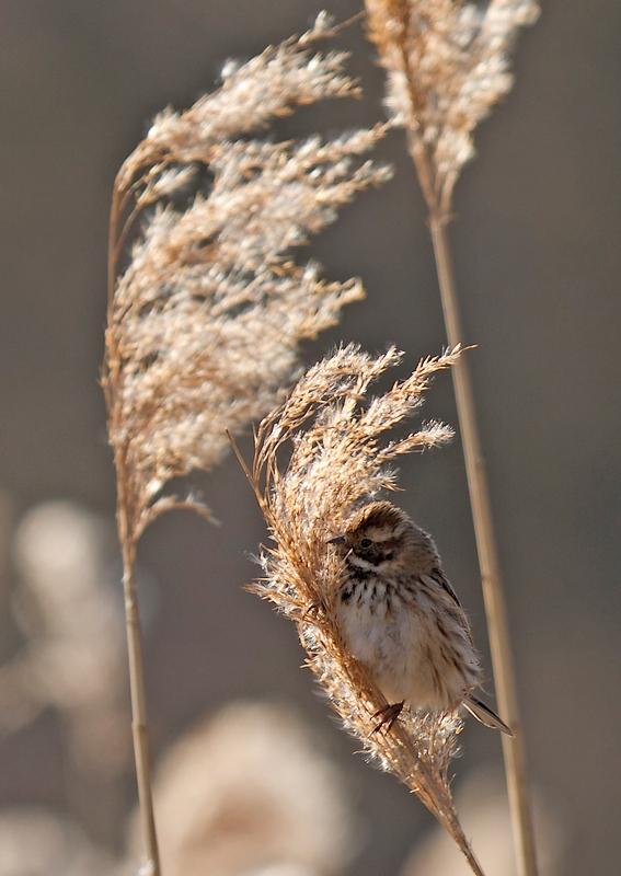 Parc de la Woluwe (Bruant des roseaux, bergeronnette des ruisseaux,...) + 3 nouvelles photos du bruant 1304020209385685111039921