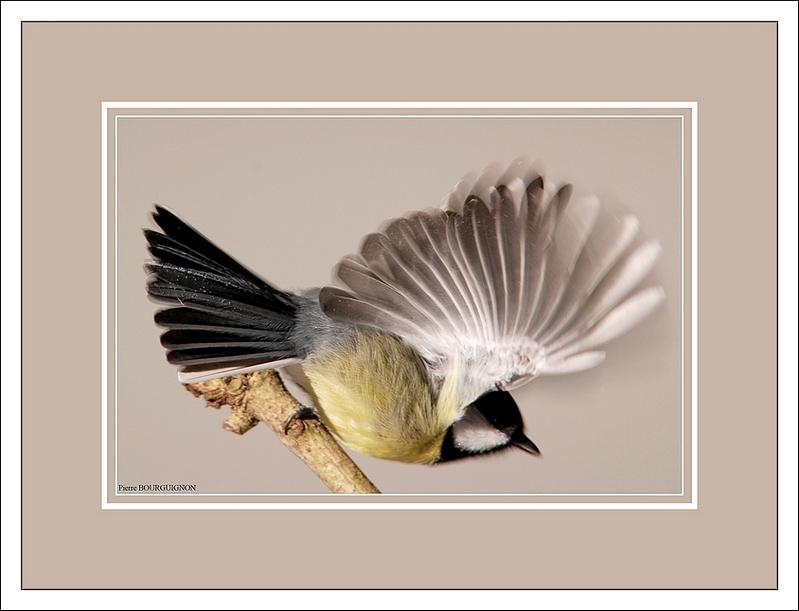 Mésange charbonnière (Parus major), photographies animalières par Pierre BOURGUIGNON, photographe animalier, Belgique