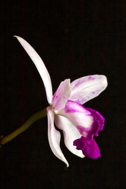 "Cattleya intermedia var orlata ""rio"" 1304190425013269511101913"