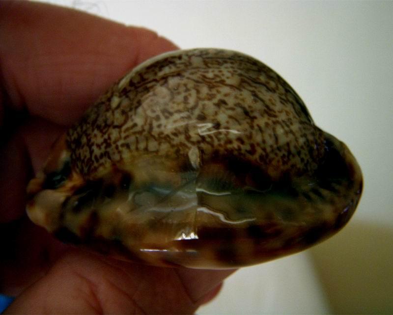 Mauritia arabica asiatica f. gibba  - Cohen, 1949  13042604573914587711124385