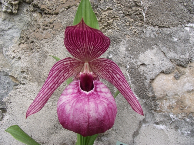 Cypripedium tibeticum 1305181045106539811202785