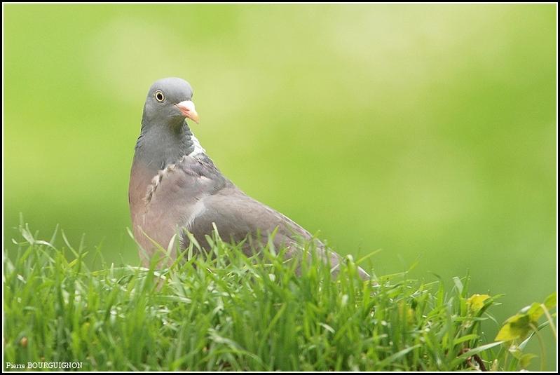 Pigeon ramier / Palombe (Columba palumbus) par Pierre BOURGUIGNON, photographe animalier, Belgique