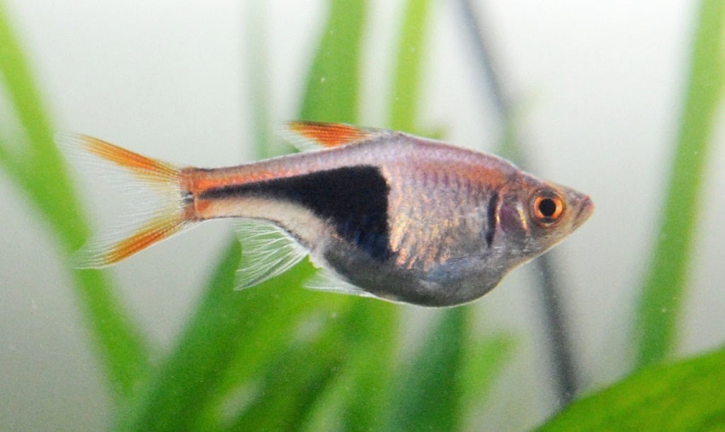 Début de reproduction Rasbora arlequin 13052609583912740911233592