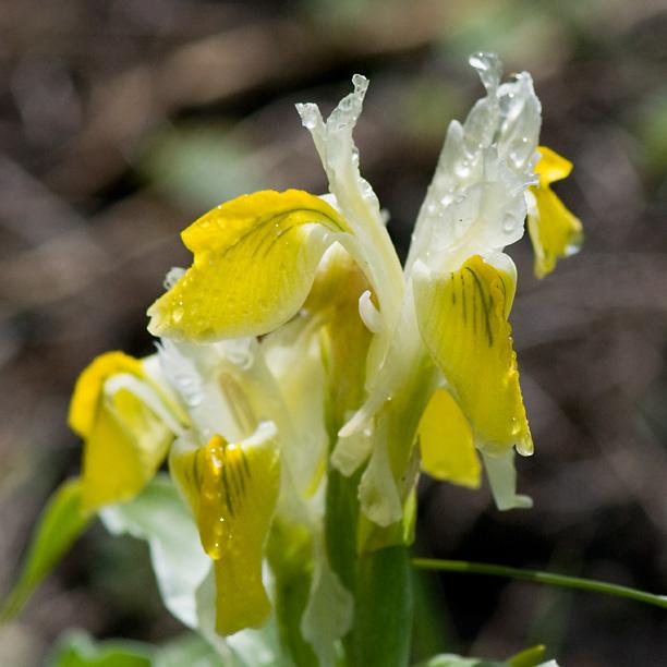 Iris bucharica_web