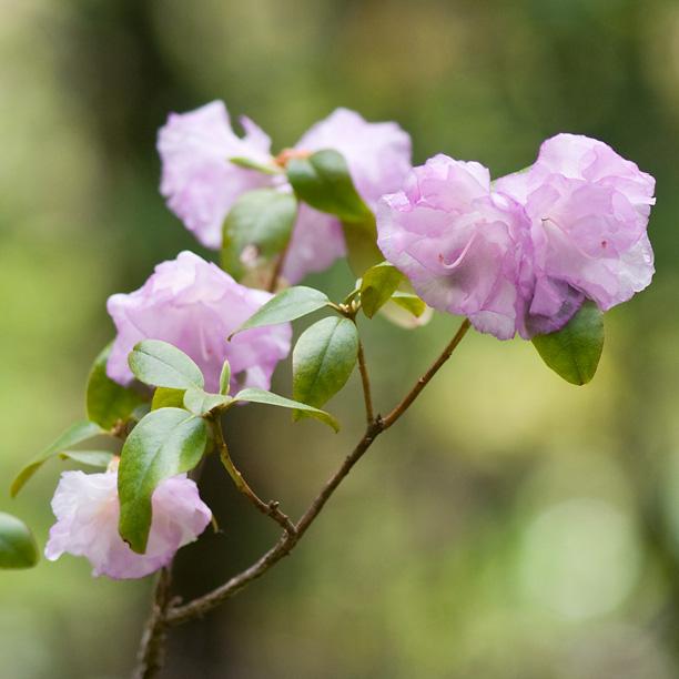 Rhododendron April mist_web