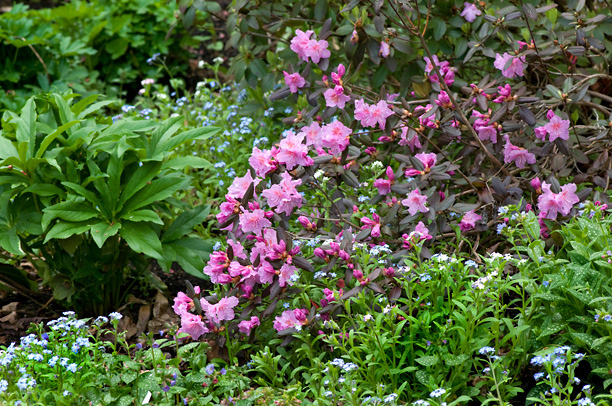 Rhododendron Midnight Ruby_web