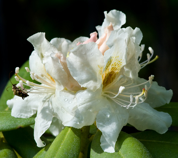 Rhododendron Big Deal_web
