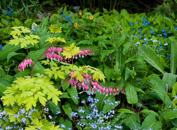 Dicentra spectabilis Gold Heart_web