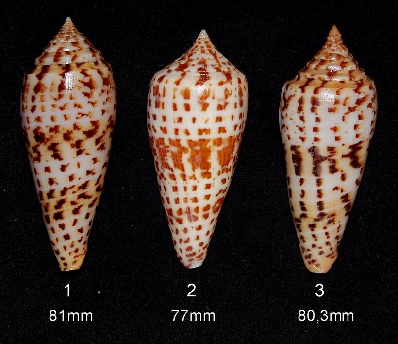 Conus (Phasmoconus) pretiosus  G. Nevill & H. Nevill, 1874 13061210111114587711287596