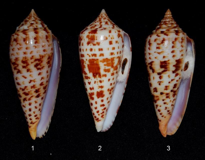 Conus (Phasmoconus) pretiosus  G. Nevill & H. Nevill, 1874 13061210111314587711287597