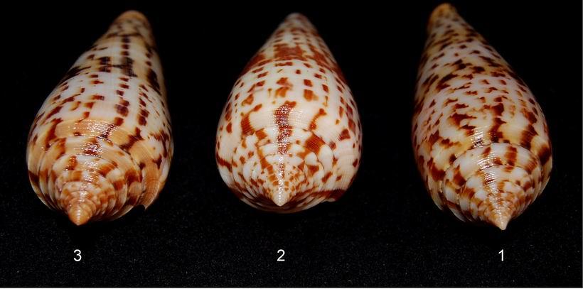 Conus (Phasmoconus) pretiosus  G. Nevill & H. Nevill, 1874 13061210111614587711287598