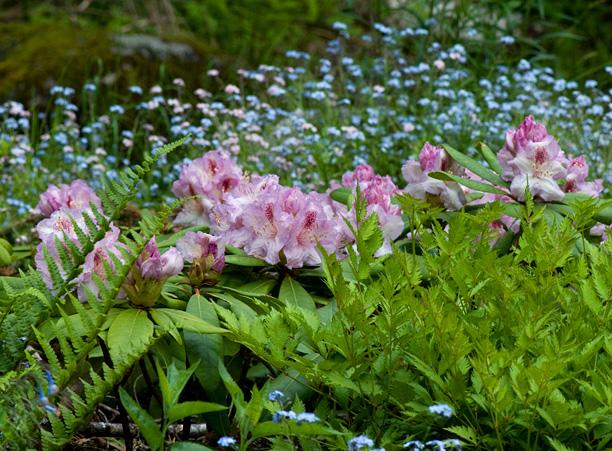 Rhdodendron Jack Superbe_web