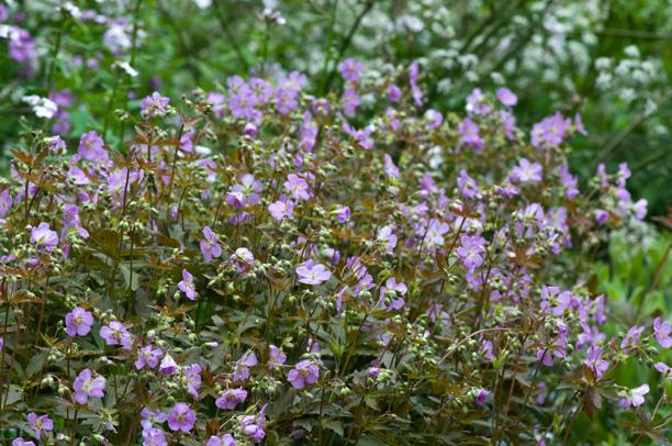 Geranium maculatum Elisabeth Ann_web