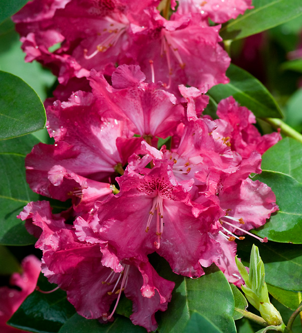 Rhododendron Besse Howell_web