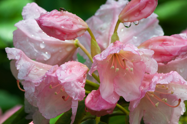 Rhododendron Rio_web