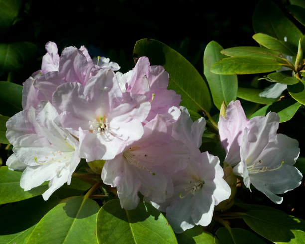 Rhododendron Nepal_web