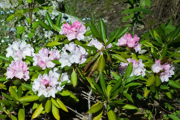 Rhododendron Yack hybride_web